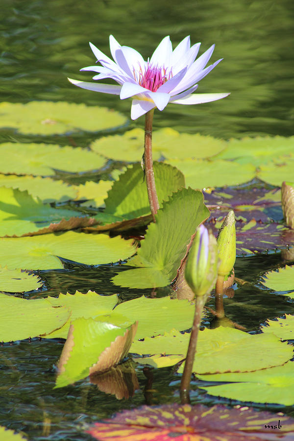 Pond Photograph - Lavender Flower On A Pond by Mark Steven Burhart