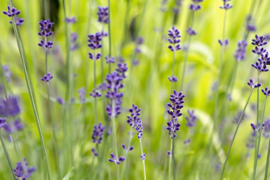 Lavender Photograph - Lavender Flowers Background by David Gn