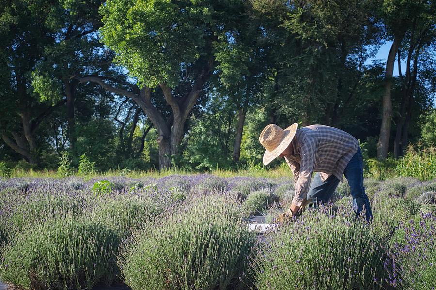 Landscapes Photograph - Lavender Harvest by Mary Lee Dereske