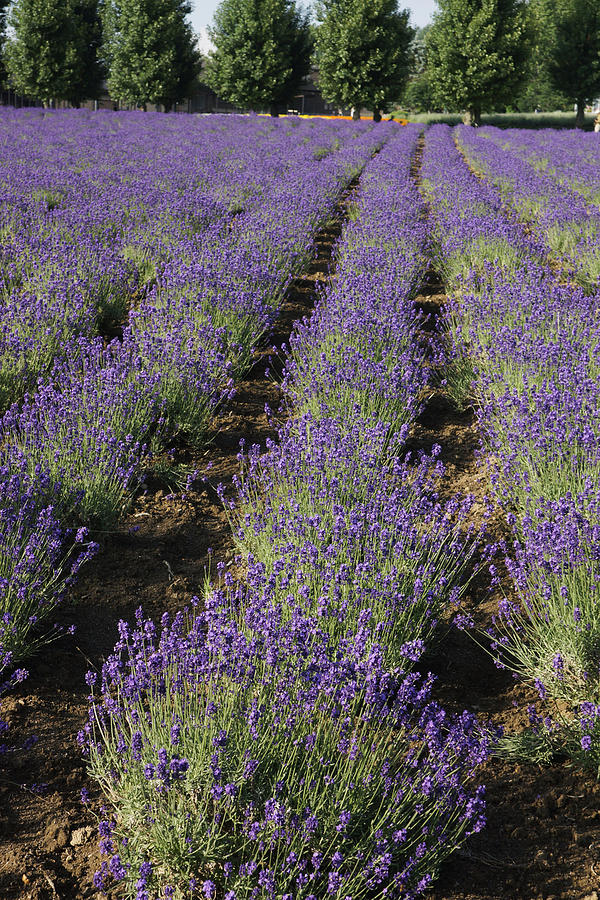 Lavender Herb Crop In Flower Japan Photograph by Hiroya Minakuchi