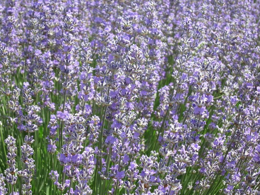 Lavender Photograph - Lavender Hues by Pema Hou