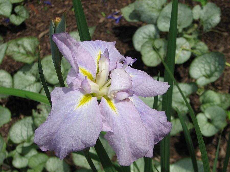 Lavender Iris Photograph by Sarah Uman