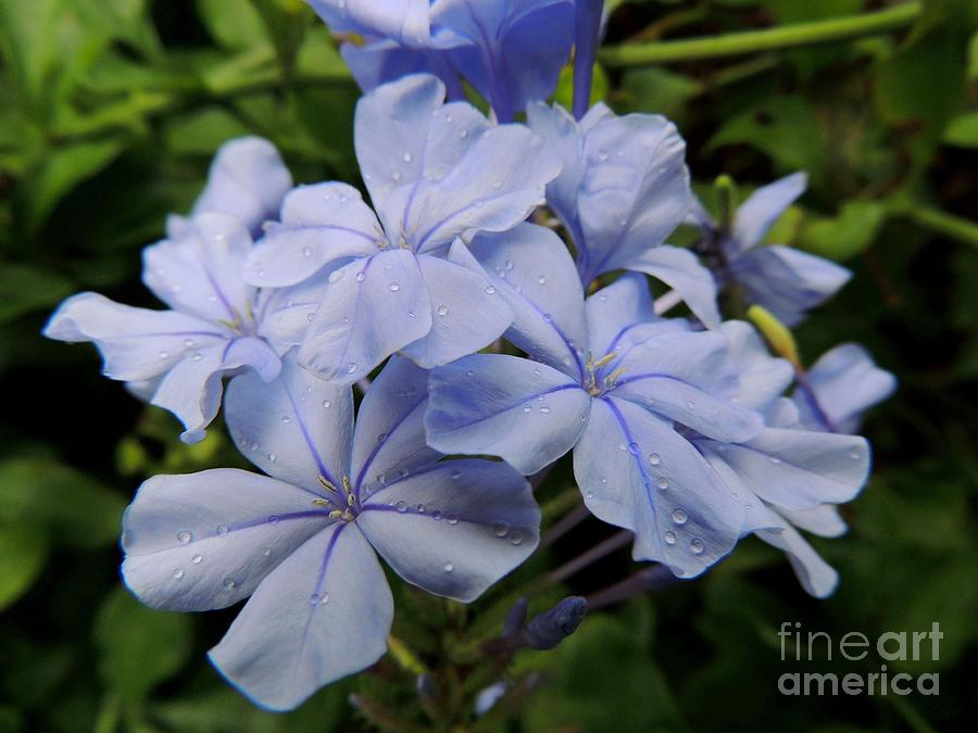 Flower Photograph - Lavender Raindrops by Kristine Merc