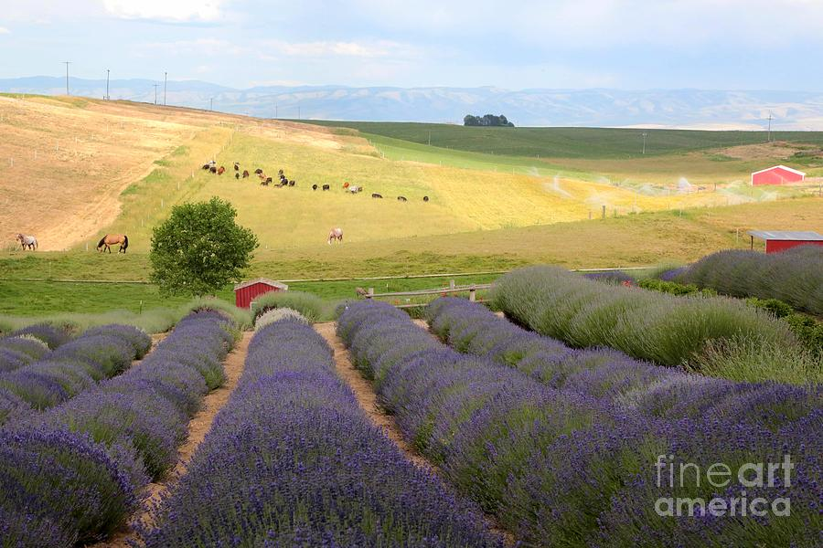 Lavender Photograph - Lavender Valley by Carol Groenen