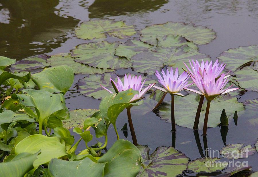 Flowers Photograph - Lavender waterlilies by Jill Bell
