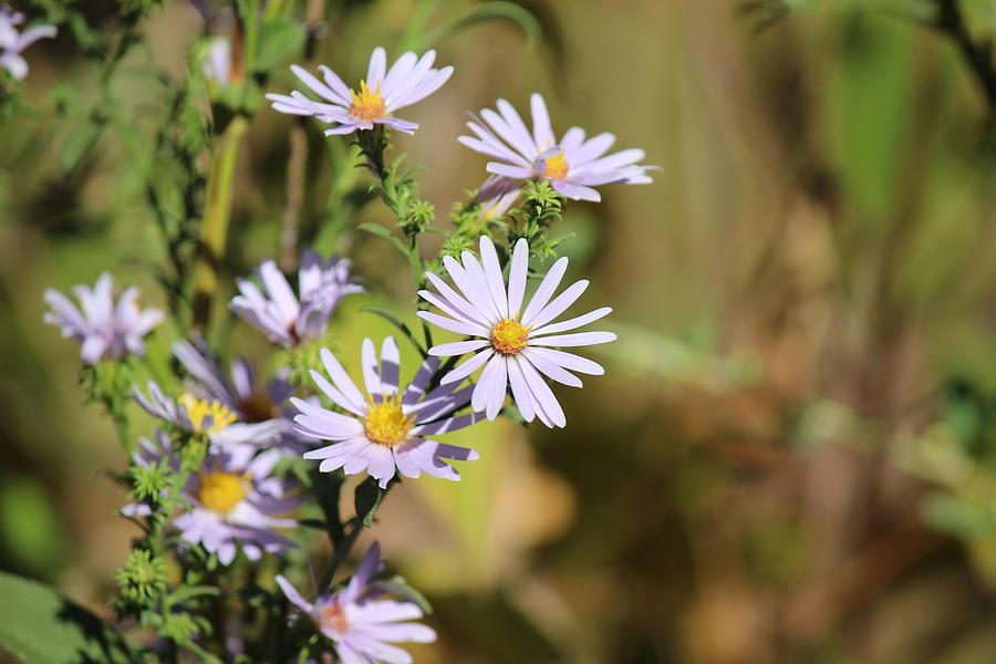 Lavender Photograph - Lavender Wild Flowers by Edward Hamilton