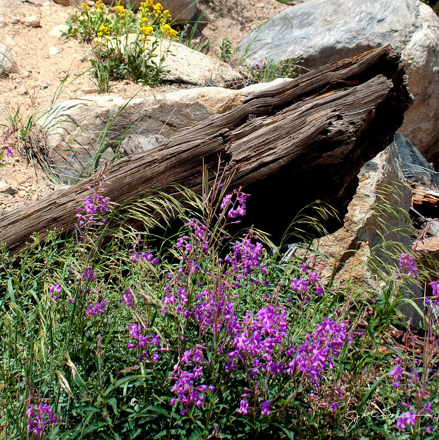 Fireweed Photograph - Lawn Lake Trail by Julie Magers Soulen