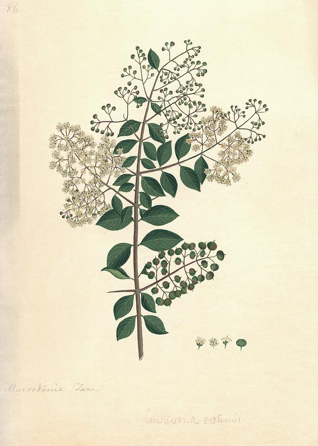 Henna Photograph - Lawsonia inermis, historical artwork by Science Photo Library