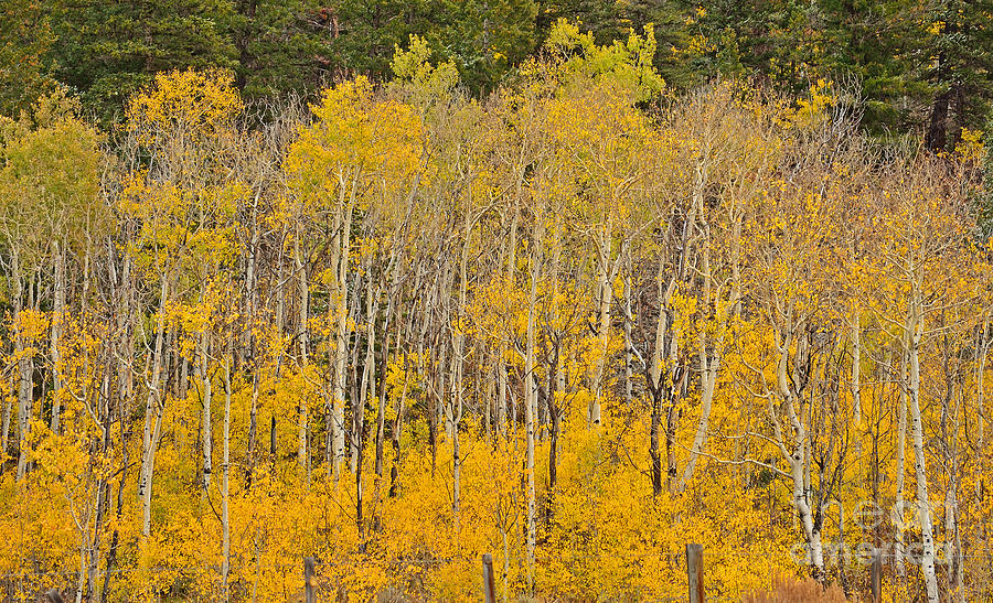 Aspen Photograph - Layers Of Gold by Kelly Black
