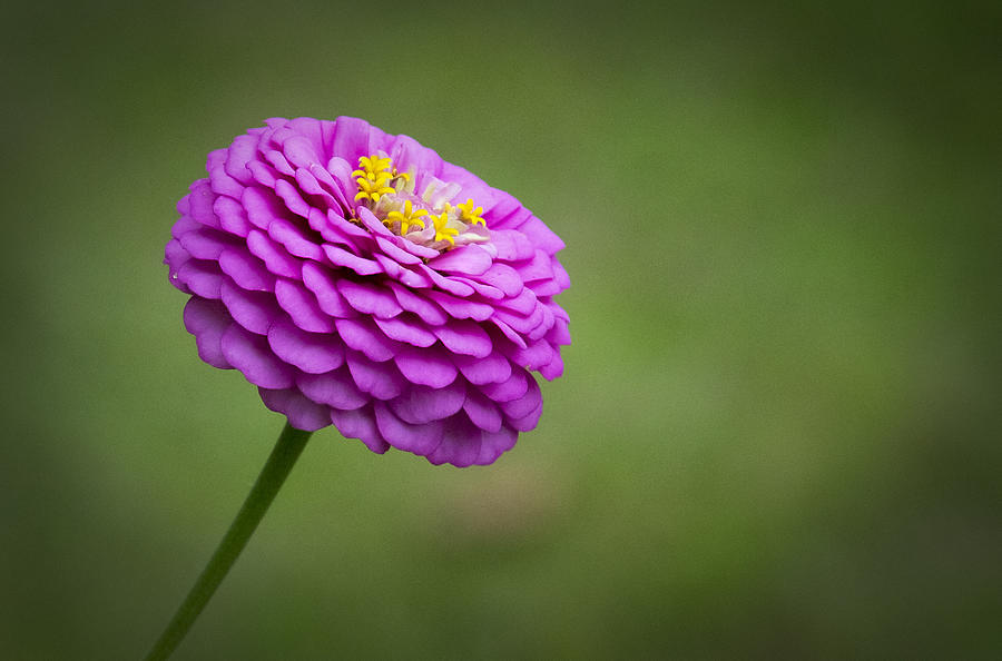 Flower Photograph - Layers Of Pink by Christine Nunes