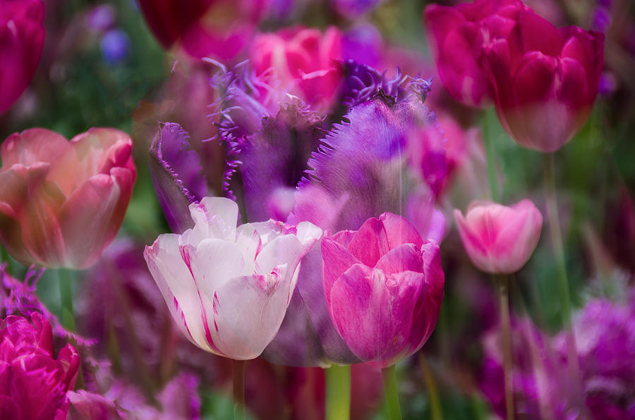 Tulips Photograph - Layers Of Tulips by Penny Lisowski