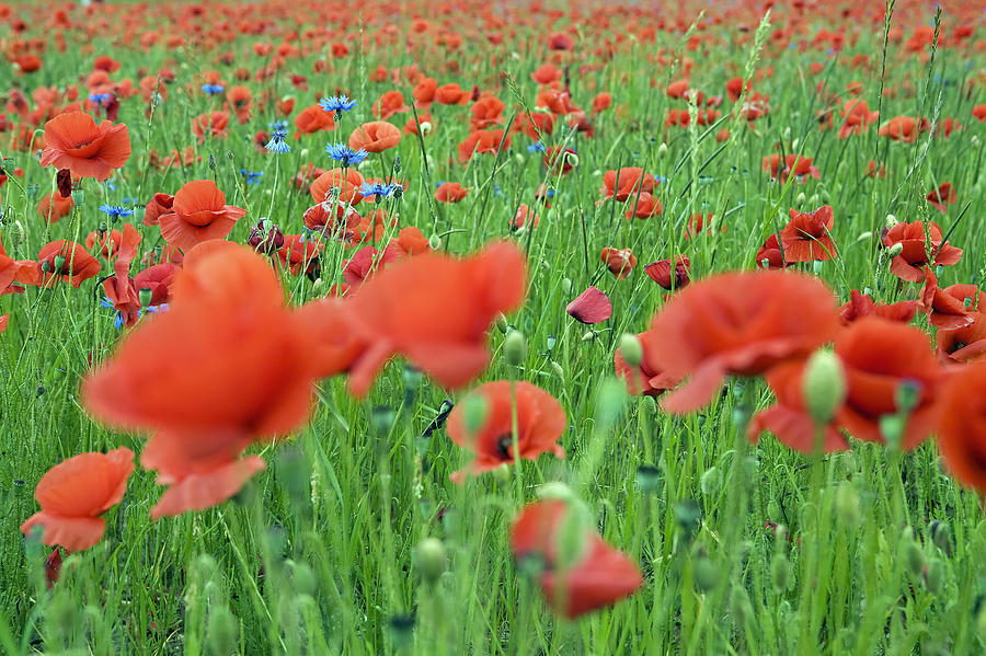 Poppy Photograph - Laying In The Poppy Field by Patrick Jacquet