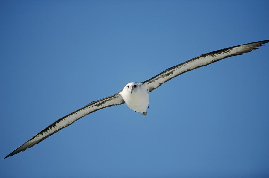 Laysan Albatross Soaring Hawaii Photograph by Tui De Roy