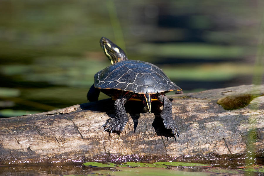 Painted Turtle Photograph - Lazy Day On A Log 6241 by Brent L Ander