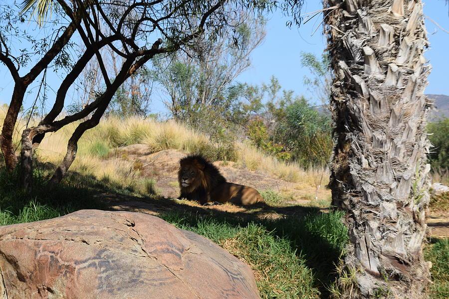 Lion Photograph - Lazy King by Steve Scheunemann