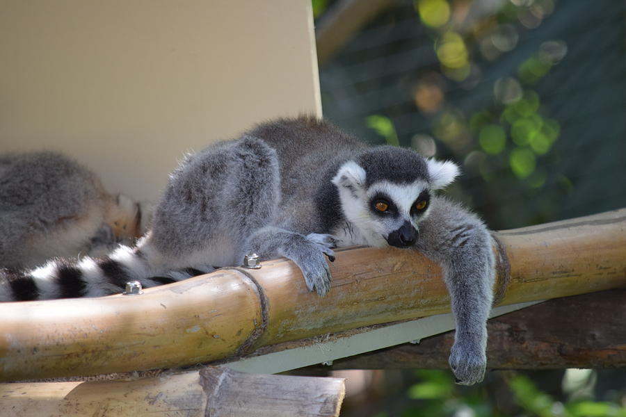Lazy Lemur Photograph