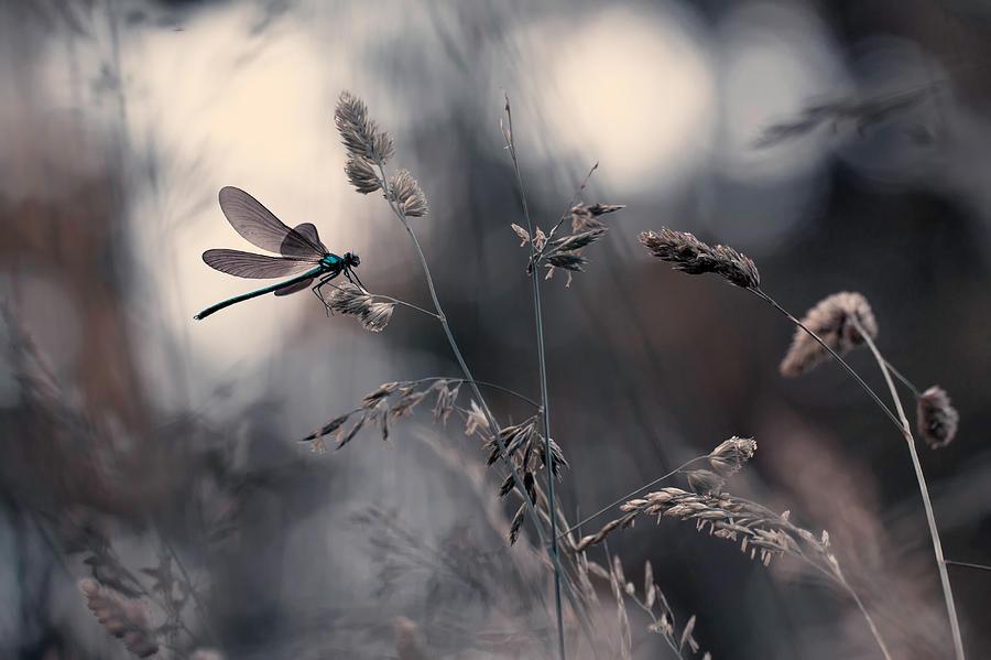 Dragonfly Photograph - Le Vent Lemportera by Fabien Bravin