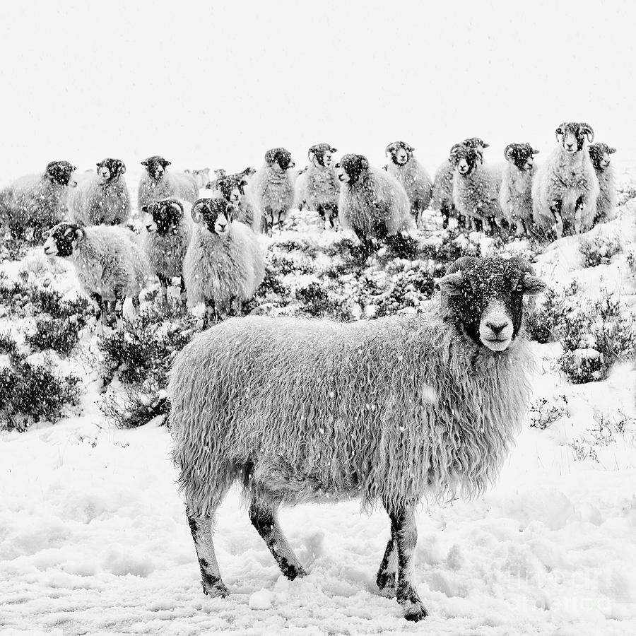 Swaledale Photograph - Leader of the Flock by Janet Burdon