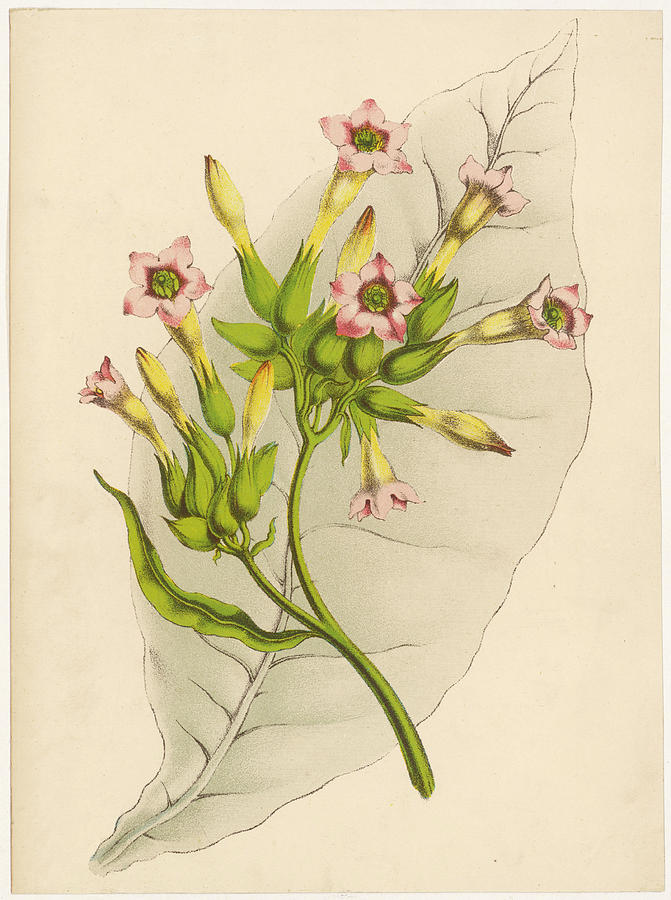 Tobacco Drawing - Leaf And Flowers Of A Tobacco  Plant by Mary Evans Picture Library