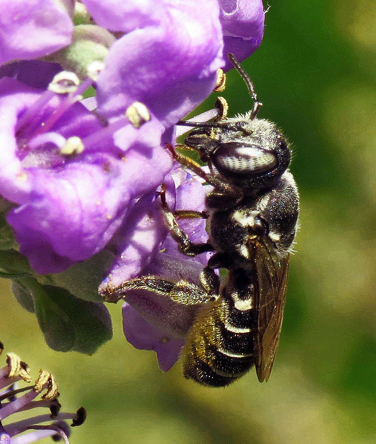 Leaf Cutter Bee Photograph - Leaf Cutter Bee by Walter Klockers