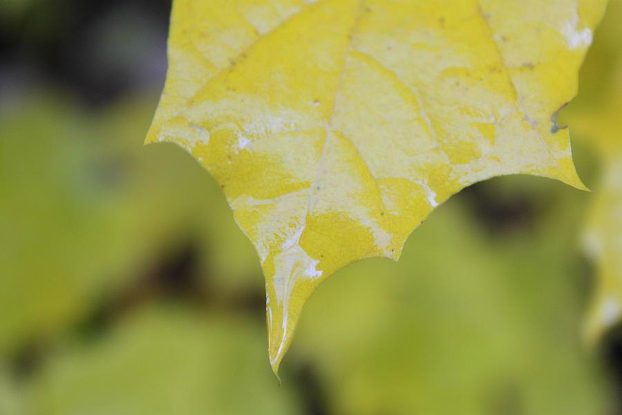 Leaf Photograph - Leaf Drops by Dorothy Hall