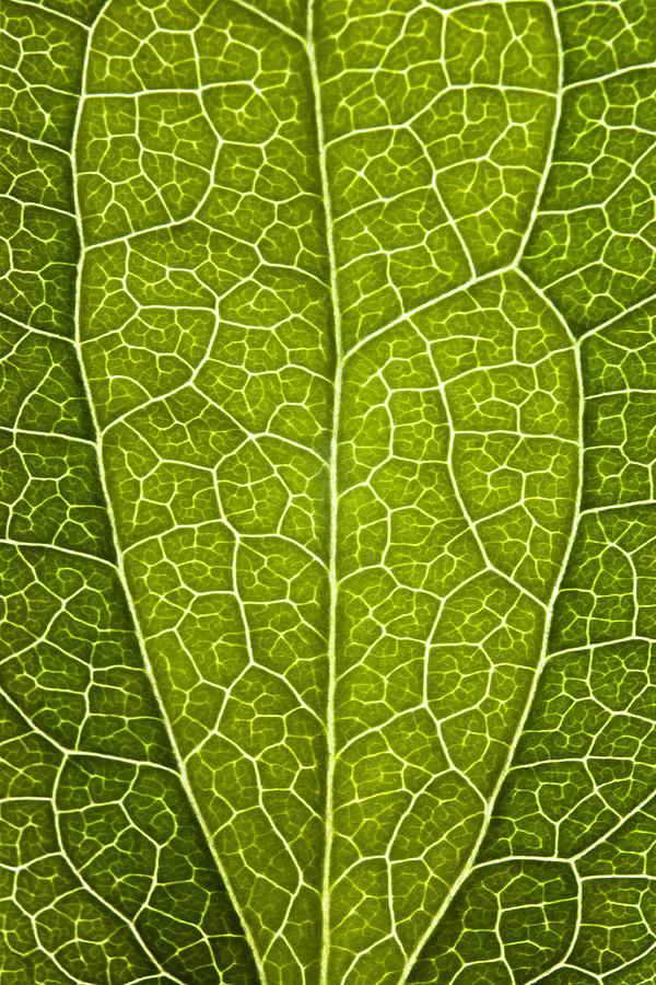 Leaf Photograph - Leaf Lines V by Natalie Kinnear
