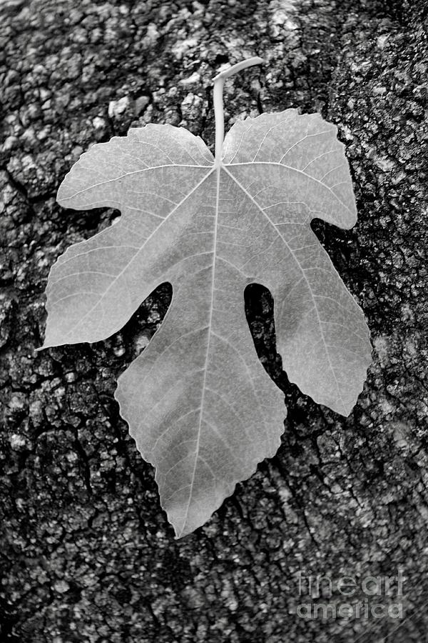 Leaf Photograph - Leaf On Bark by Andrew Brooks