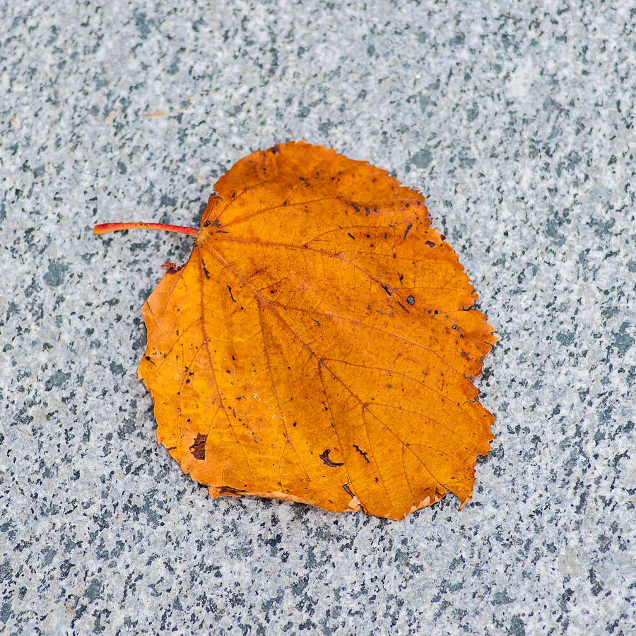Abstract Photograph - Leaf On Granite 10 - Square by Alexander Senin
