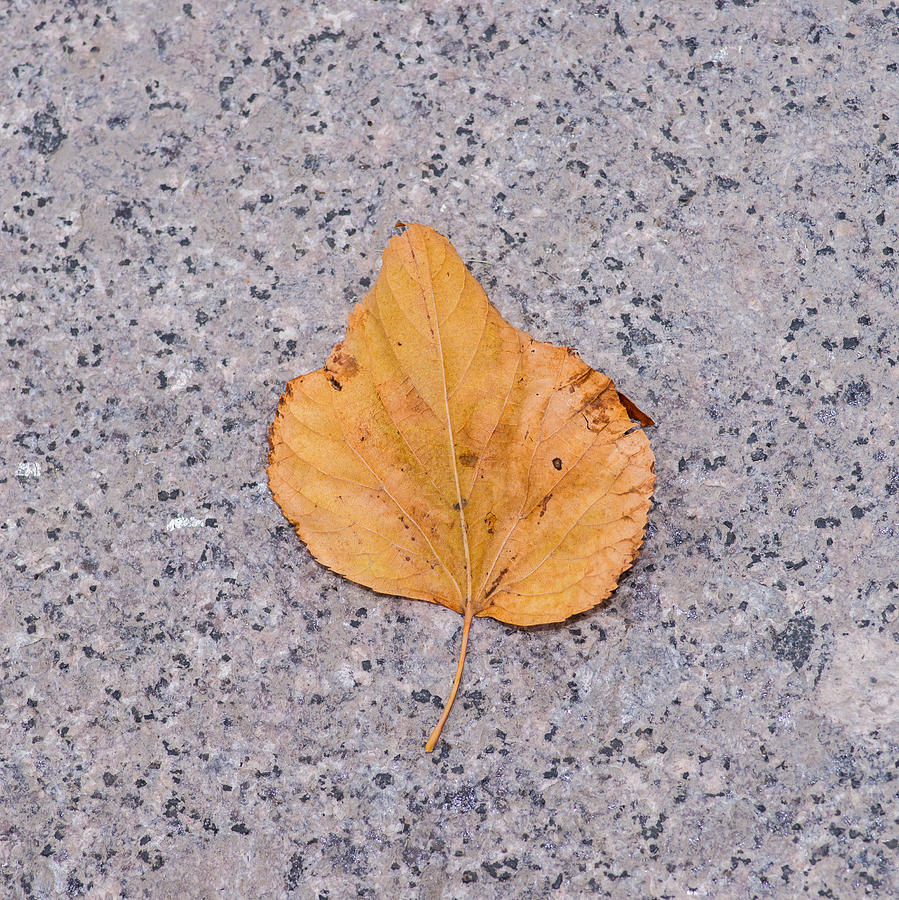 Abstract Photograph - Leaf On Granite 2 - Square by Alexander Senin
