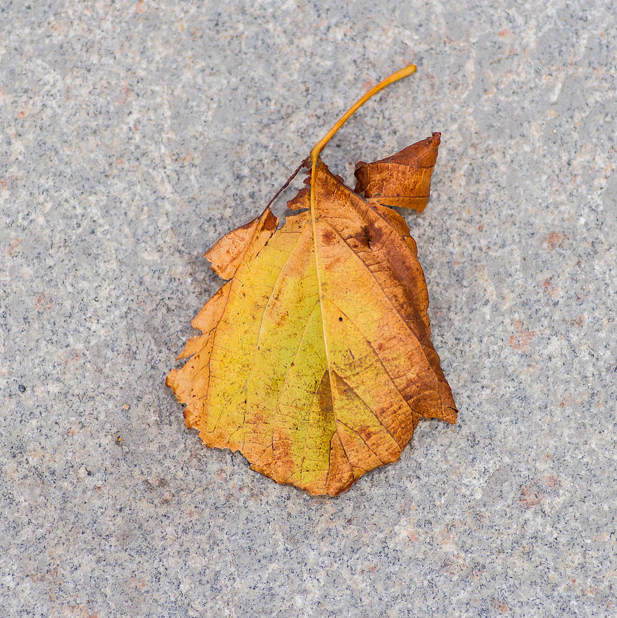 Abstract Photograph - Leaf On Granite 4 - Square by Alexander Senin