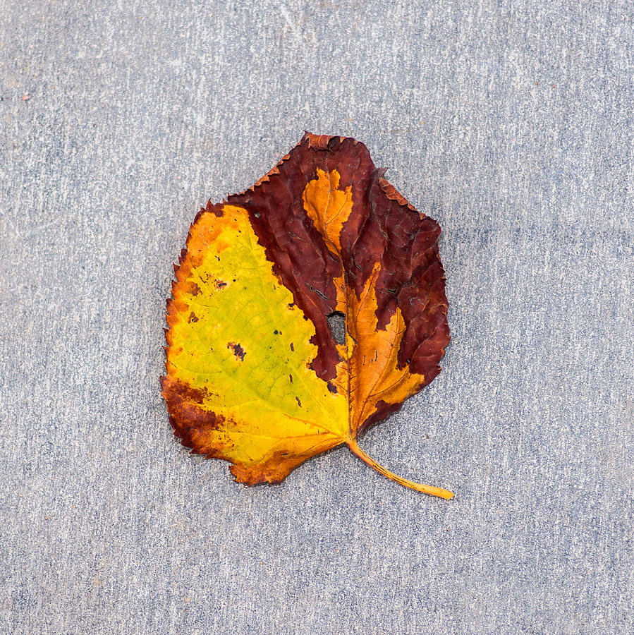 Abstract Photograph - Leaf On Granite 5 - Square by Alexander Senin