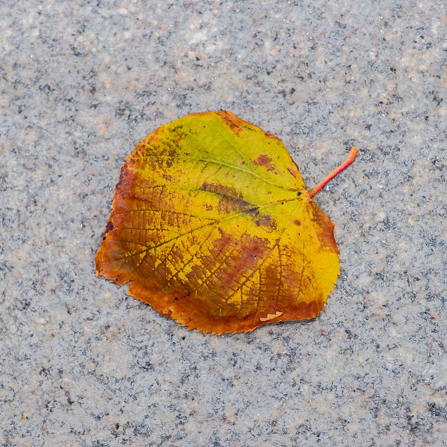 Abstract Photograph - Leaf On Granite 6 - Square by Alexander Senin