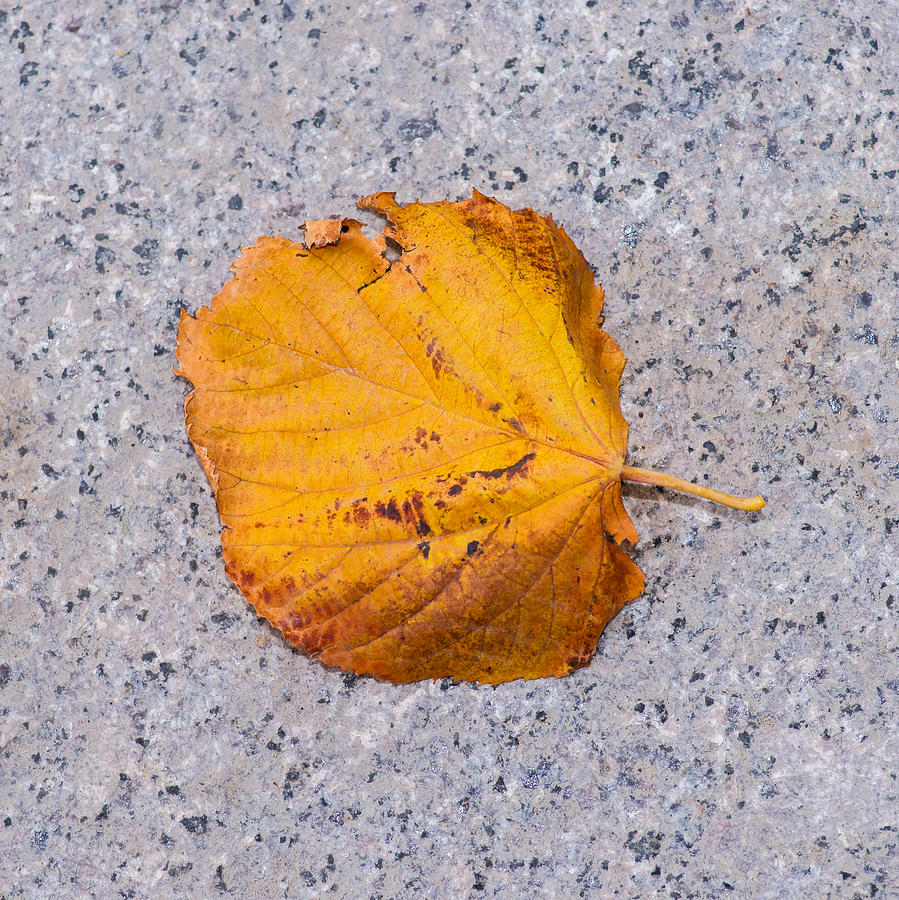 Abstract Photograph - Leaf On Granite 7 - Square by Alexander Senin