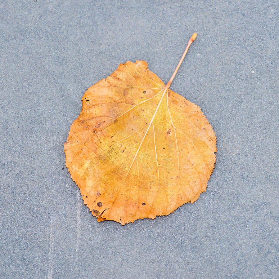 Abstract Photograph - Leaf On Granite 9 - Square by Alexander Senin