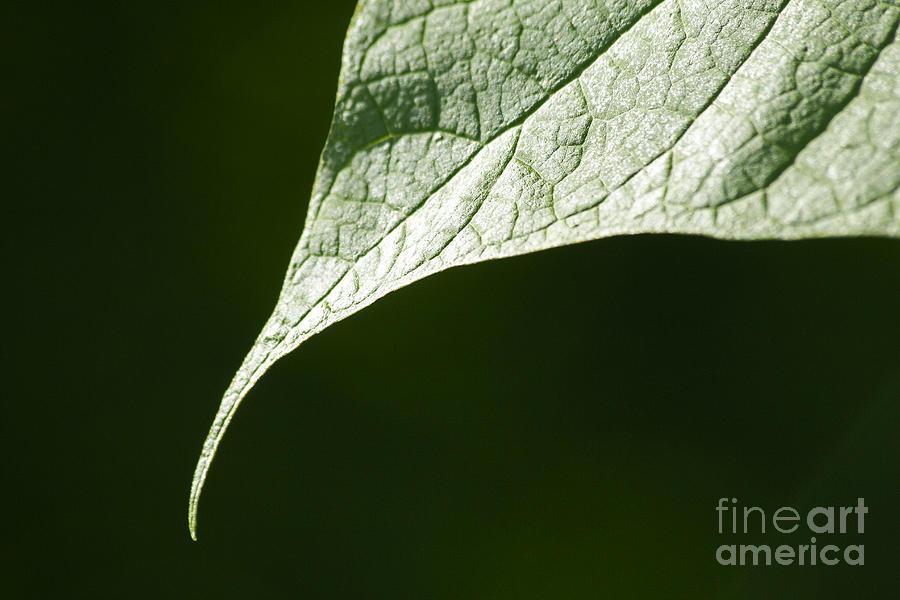 Flowers Photograph - Leaf by Tony Cordoza
