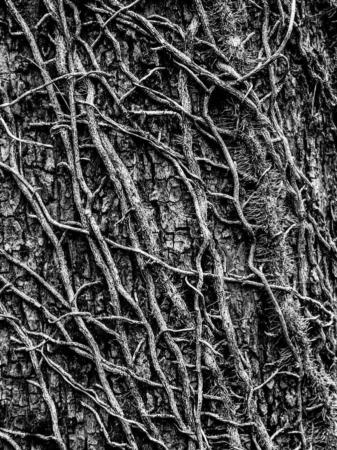 Leafless Ivy Photograph