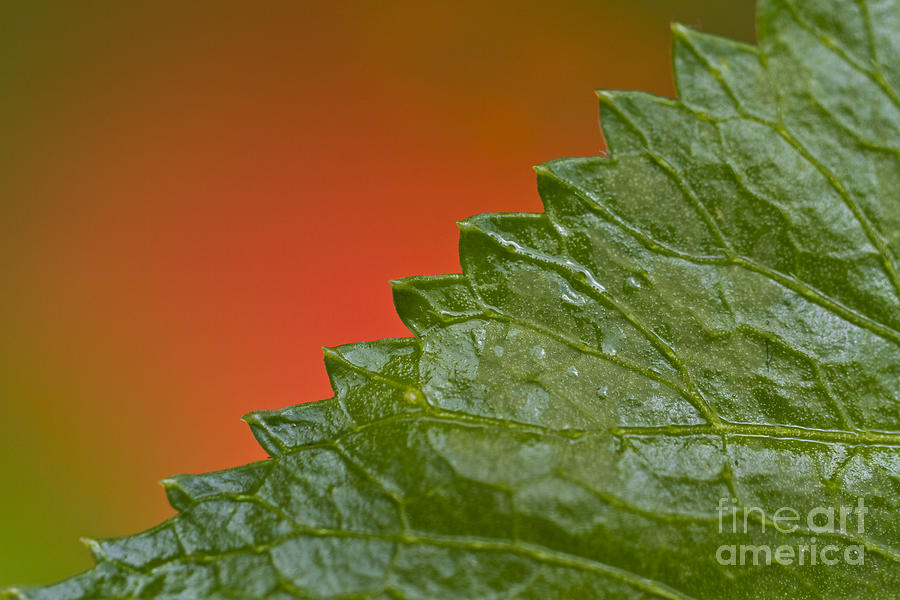 Plant Photograph - Leafy by Heiko Koehrer-Wagner