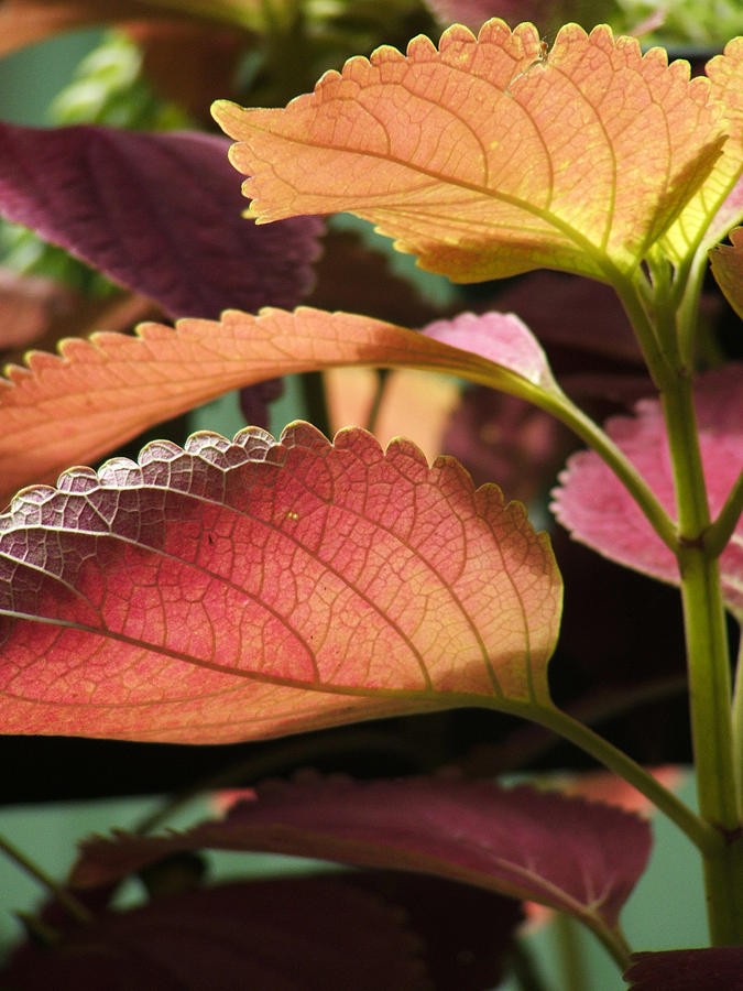 Leafs Photograph - Leafy Plant by Nelson Watkins