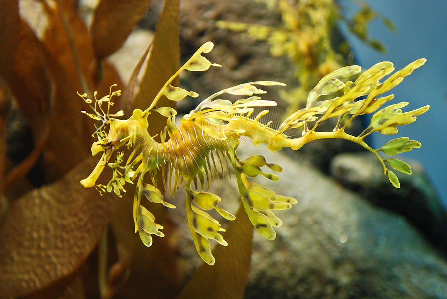 Leafy Photograph - Leafy Sea Dragon by Shane Kelly