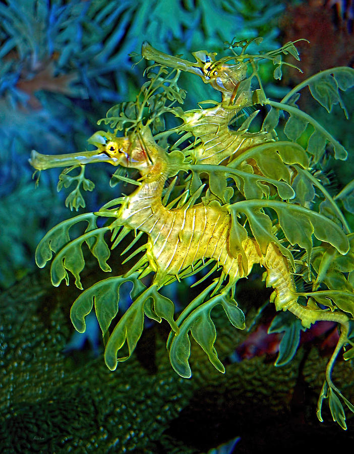 leafy sea dragon Leafy sea dragons (phycodurus eques) are exquisitely camouflaged fish belonging to the same family as seahorses and pipefish (syngnathidae), they resemble these with their elongated snout and bony-plated body leafy seadragons are yellowish-brown to green in colour, although they may vary.