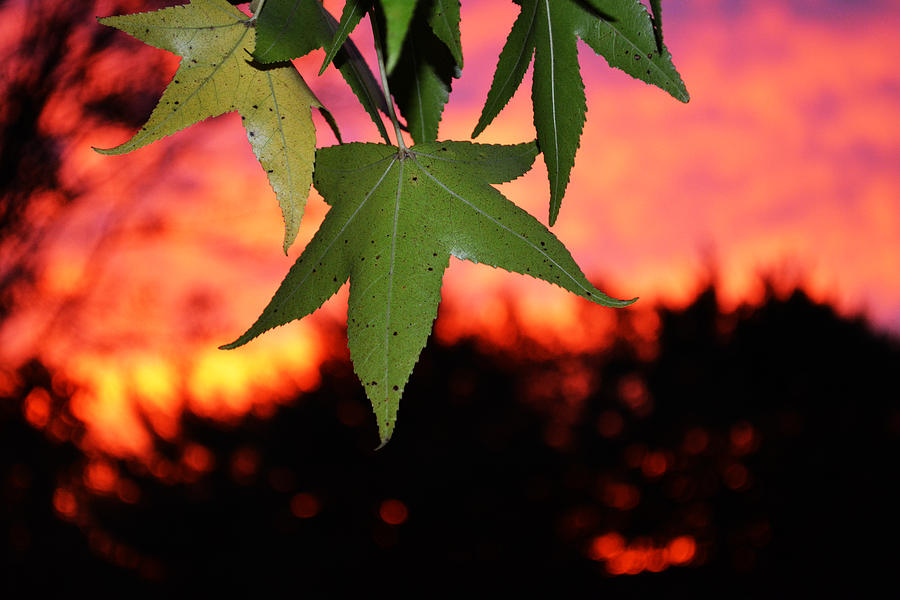 Sunset Photograph - Leafy Sunset by Sabre Tooth
