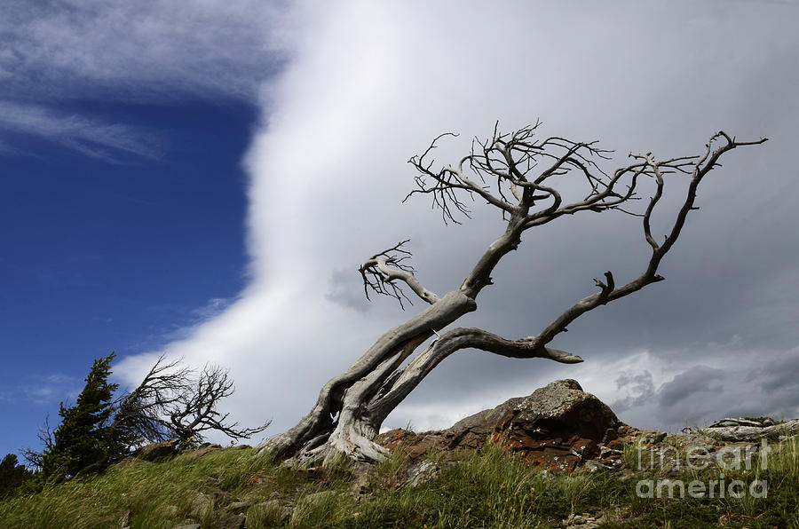 Burmis Tree Photograph - Leaning Just A Little by Bob Christopher