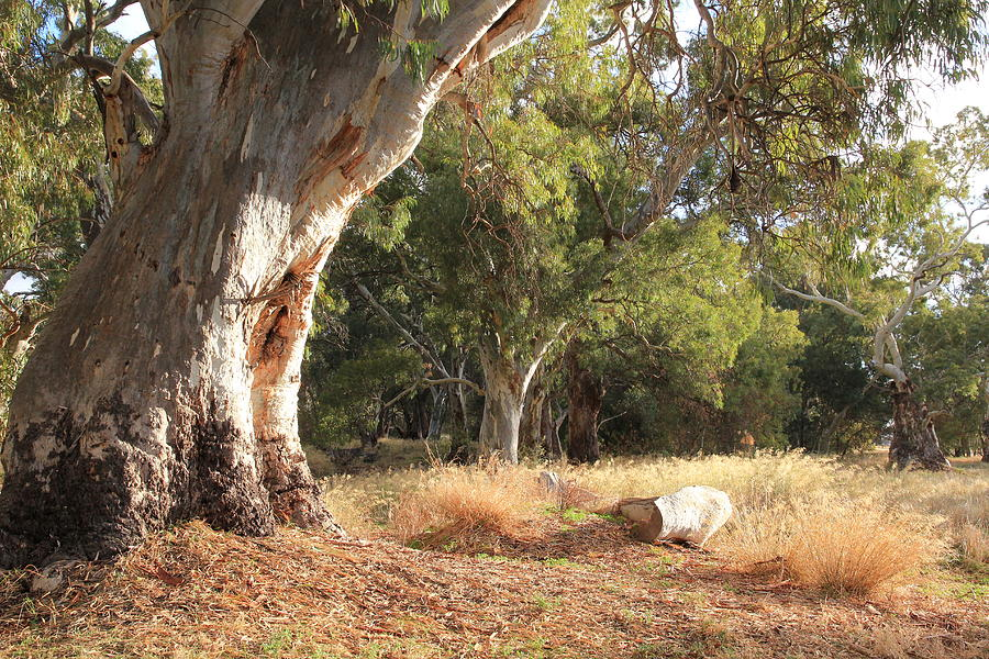 Old Gum Tree Photograph - Leaning Old Gum by Philip Hartnett