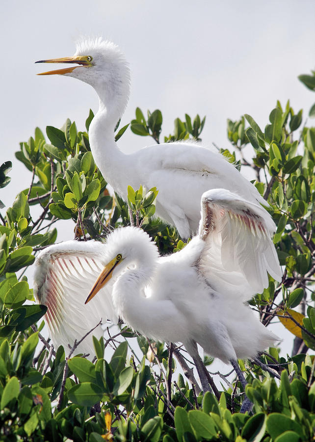 Great Egret Photograph - Learn To Fly by Patrick M Lynch