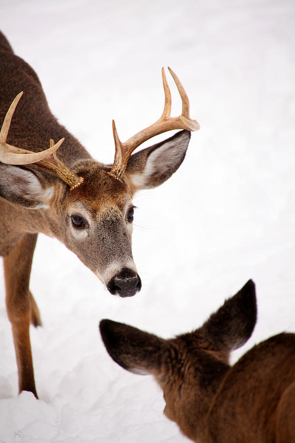 Buck Photograph - Learning A Lesson by Karol Livote