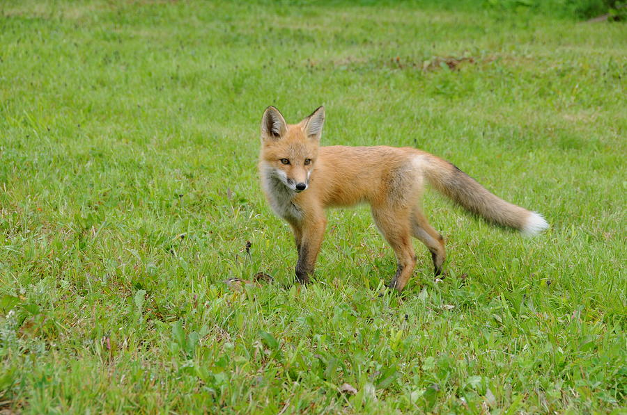 Fox Pup Learning To Hunt Photograph - Learning Lessons Of Life by Sandra Updyke