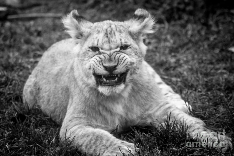 Learning To Roar Photograph