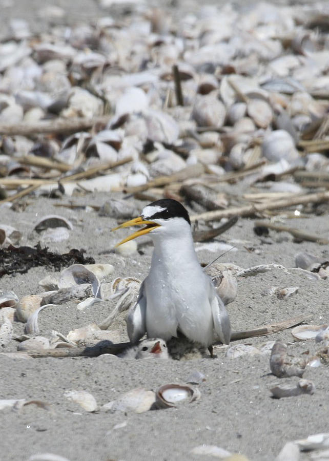 Least Tern Photograph - Least Tern by Brian Magnier