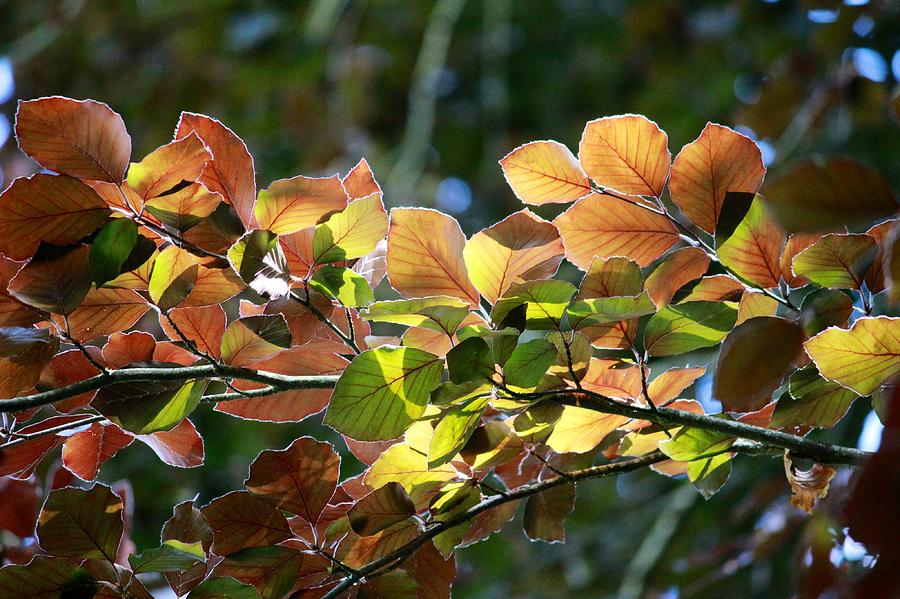 Leaves Photograph - Leaves Of Light by Tim Rice