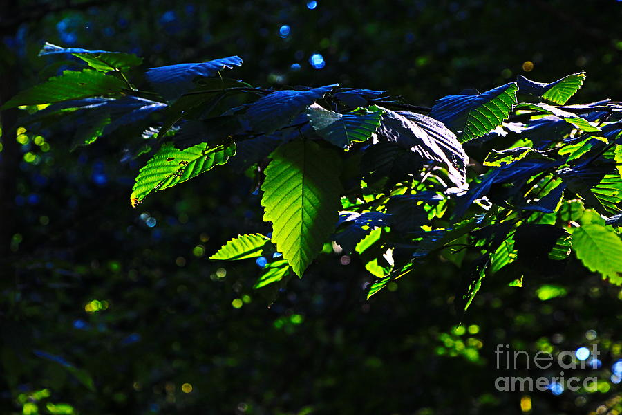 Leaves Of Setting Light Photograph - Leaves Of Shining by Tim Rice